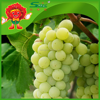 Seedless Green Grapes cheap price wholesale grape exporters in China