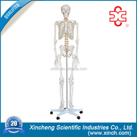 Artificial Skeleton For Education And Teaching Aids