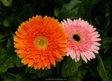 Preserved Fresh Flower names of flowers used for decoration Gerbera wedding flowers to workmates