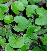 Gotu Kola Herb Extract Asiaticoside,triterpense 10%-80% Regulating immunity and improving blood circulation