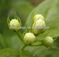 Dried jasmin flower/buds as crude medicine