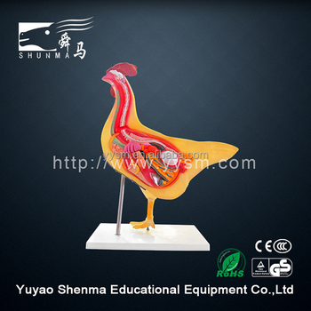 Animal anatomical model for since students learning chicken model