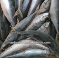 Size in 300-500g mackerel for fish supplier wholesale