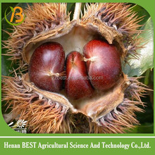 find fresh and sweet chestnut buyers all over the world