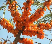 Sea buckthorn Berry P.E natural antioxidant