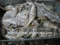 Frozen Squid Bait