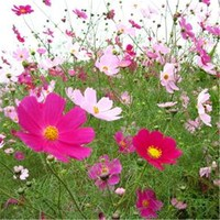 Flower seeds company cosmos sensational orange flowers seeds