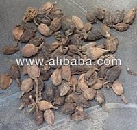 Amomum subulatum, Black Cardamom, Kali Elaichi, Brihatupkunchika, Cardamome noir, Nepal Cardamom, Big Cardamom