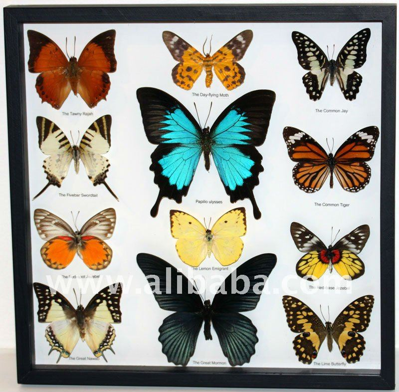 Real butterfly pictures to print