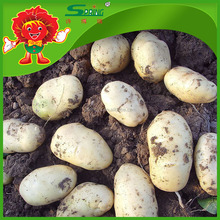 Shandong bulk fresh holland potato for sale