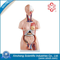 science exhibition model of human anatomy model