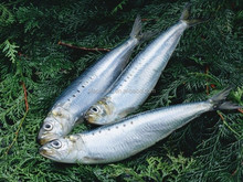 good quality sardine <strong>fish</strong> with competitive price for sale
