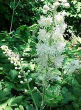 natural Black cohosh extract , help you overcome rheumatism