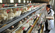 poultry feed additive,probiotics