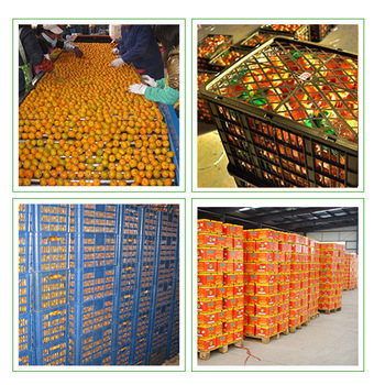 wholesale organic orange fresh fruit fresh fruit importers