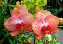 Nursery Wholesale Ornamental Butterfly Moth Orchid and Phalaenopsis Aphrodite Orchid Plants