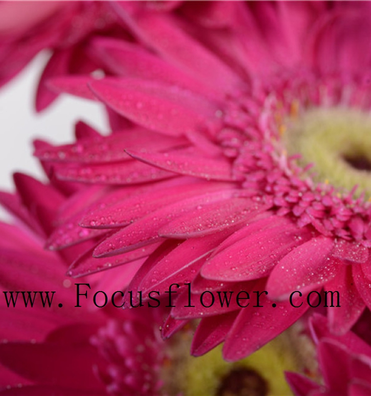 Florid Florist Supplies Gerbera Fresh Cut Flowers Hot Selling In China High Quality Greenhouse Grow Bag fresh air from Kunming