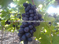 Crimson seedless grape