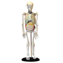 High Quality 85cm human skeleton model with internal organs