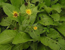 Scabwort extract, Inula racemosa extract, long term stable supply