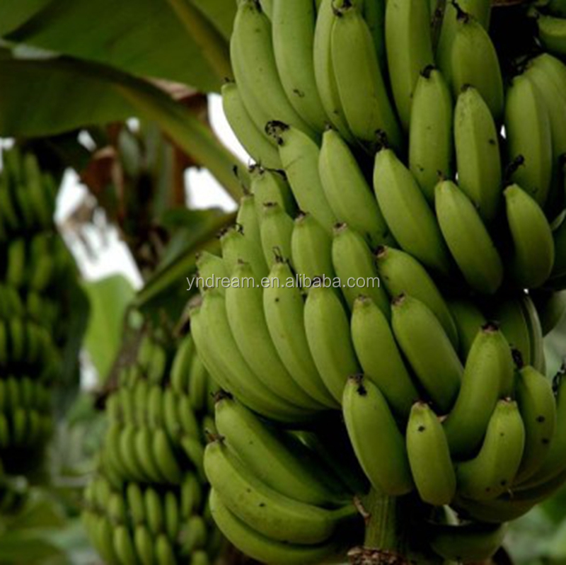 Green fresh banana mature fat banana laos kinds banana wholesale