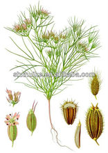caraway extract Cumin Seed extract