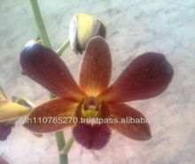 BBOrchids Dendrobium brown red