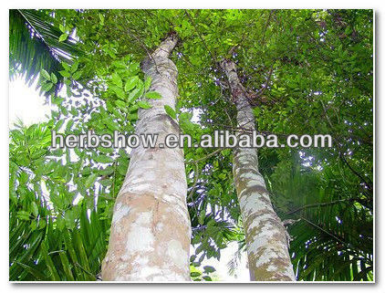 Agarwood gaharu tree seeds