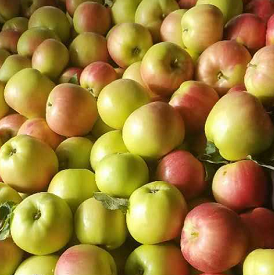 New fresh Royal gala apple for hot sale now