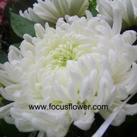 promotional chrysanthemums cuttings fresh jasmine flowers single white chrysanthemum flower growers directly supply