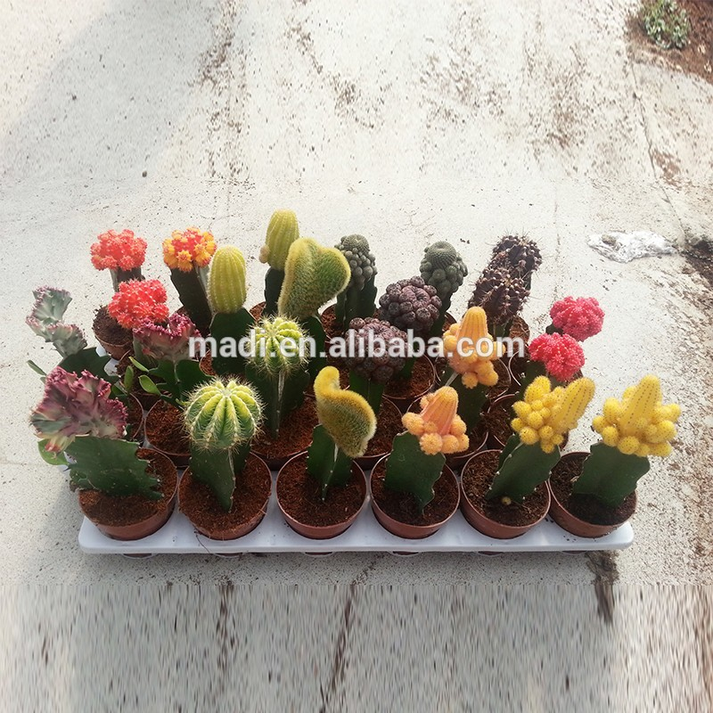 Supply Variety Cactus for sale