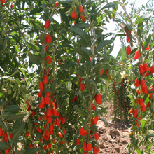 ningxia wholesale goji fruit