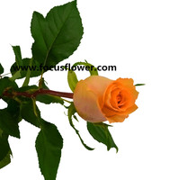 Newest fresh cut flowers colombia kunming flower exporter golden rose with 22stems/bundle