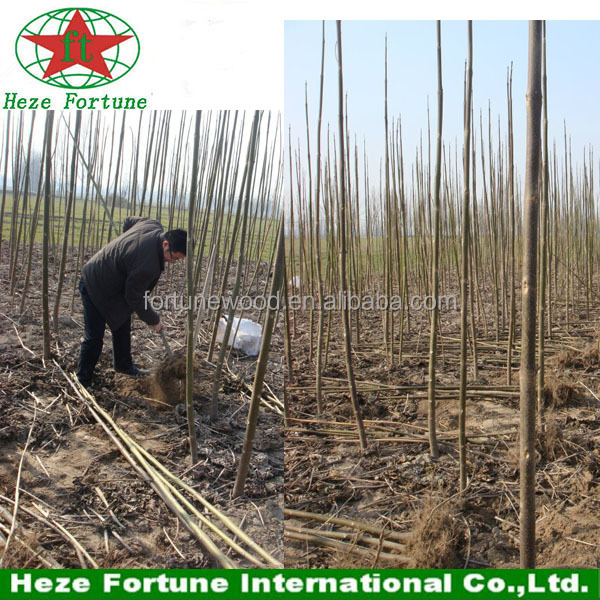 Cold resistant paulownia shan tong fast growing roots