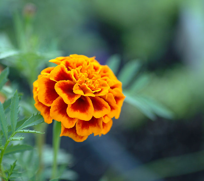Marigold seeds dried marigold petals marigold flower seed Lutein powder from cGMP manufacturer