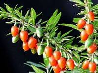 Wolfberry Polysaccharides Regulate immune, delay ageing