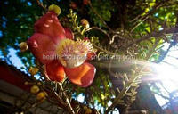 Herbal supplements Protea cynaroides extract, applied to cold and chronic insomnia.