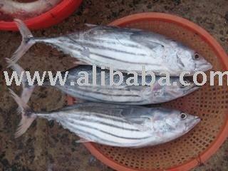 skipjack tuna, threafin bream, Mahi and all kind of frozen fish
