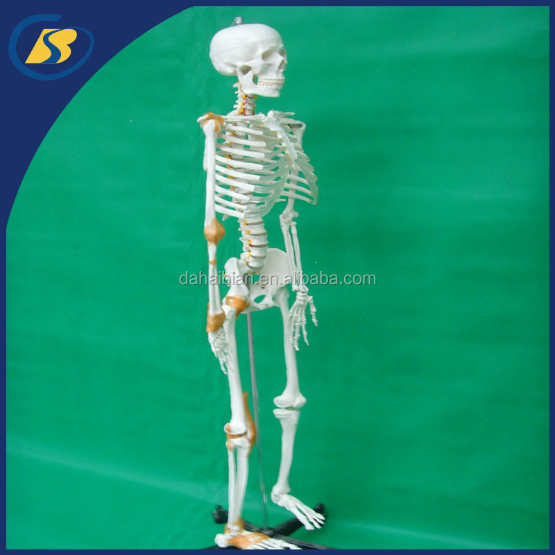 Anatomical life size dioxide human model teaching model teaching medical model