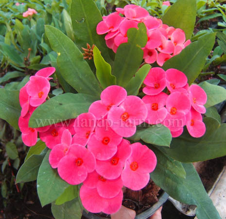 "Euphorbia milii name's ""Angel violet"""