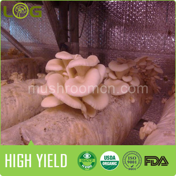 hot sale 800-1200 gram yield and competiitve market white oyster mushroom spawn price 1kg
