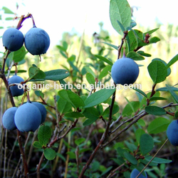 100% Pure bilberry plants for sale | bilberry powder | bilberry extract