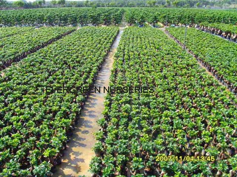 ficus microcarpa ficus ginseng bonsai id de produit 208936875. Black Bedroom Furniture Sets. Home Design Ideas