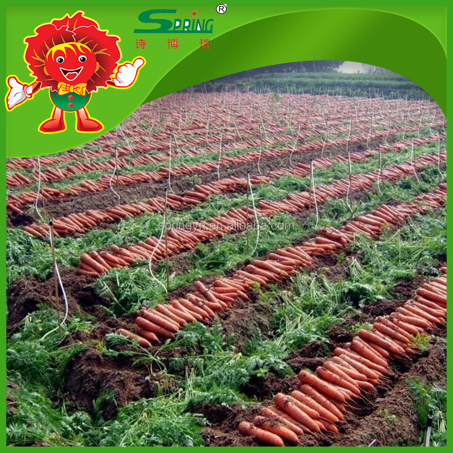 Chinese fresh carrots high quality red carrot