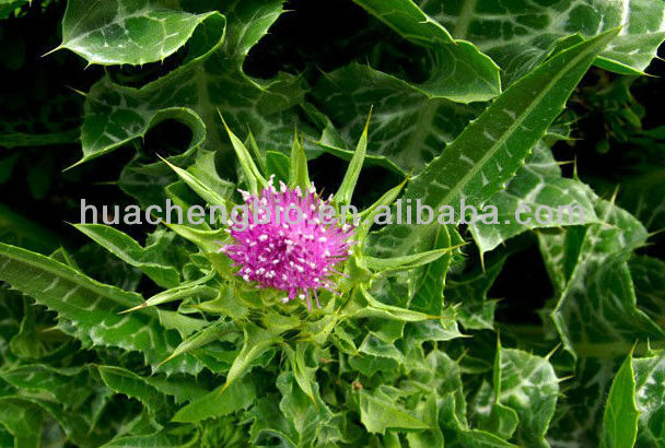 Milk Thistle Extract Silymarin 80% soluble in water