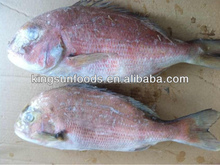 Frozen whole round red snapper fish price