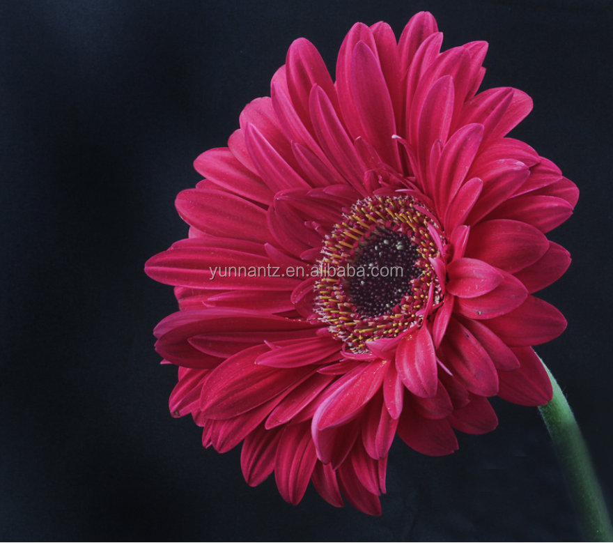 Wholesale Directory Fresh Cut Flowers Wedding Flowers Gerbera Multi-Colored
