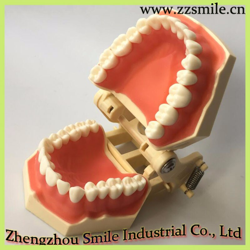 M8014 Standard Tooth Model with 32 Screw-in Teeth for Dental Class Training