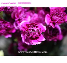 The Best Quality Fresh Cut Carnation Flowers With Low Price and fast delivery from Kunming, Yunnan, China