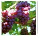Natural plant extract Grape Seed Extract